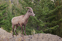 Bighorn Sheep, Mountain Sheep, Ovis canadensis, Young male near Tower fall, Yellowstone NP,Wyoming, September 2005