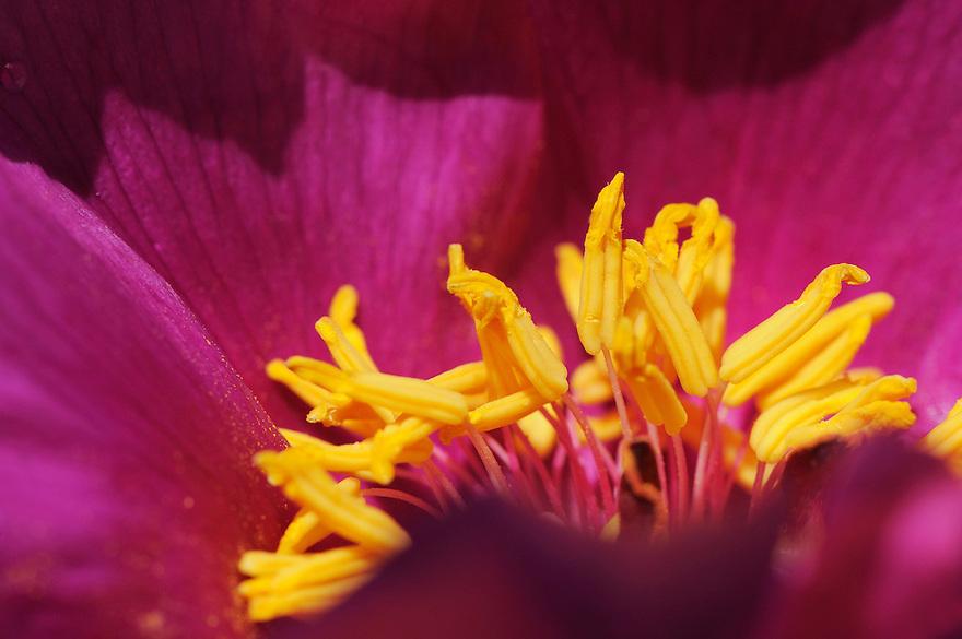 Paeony (Paeonia humilis)<br /> Sierra de Gata, Salamanca Region, Castilla y Le&oacute;n, Spain