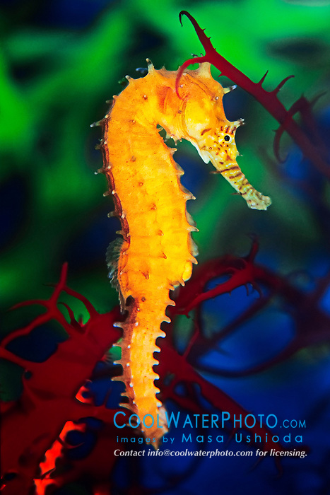 Barbour's seahorse or zebra-snout seahorse, Hippocampus barbouri, Southeast Asia, Indo-Pacific Ocean