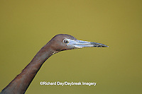 00689-01111 Little Blue Heron (Egretta caerulea)  Starr Co.  TX