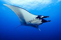 giant oceanic manta ray, Manta birostris, Revillagigedo Islands, San Benedicto Island, Mexico, Pacific Ocean