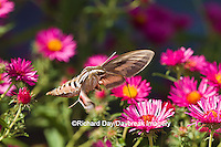 04011-00201 White-lined Sphinx moth (Hyles lineata) on Alma Potschke Aster (Aster novae-angliae 'Alma Potschke'), Marion Co., IL