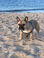 Don't Fetch! - French bulldog digs up bomb on a beach.