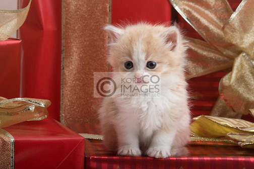 SINGLE 6 WEEK OLD LONG HAIRED GINGER KITTEN WITH CHRISTMAS PRESENTS