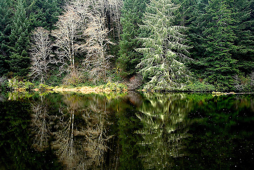 PINE TREES AND DECIDUOUS TREES ARE REFLECTD IN A POND NEAR THE OREGON COAST.