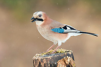 Eurasian jay (Garrulus glandarius) sits on a tree stump in snowfall, Tyrol, Austria, Europe
