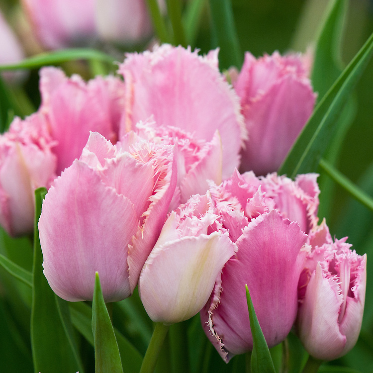 Tulip 'Fringed Family' (Fringed Group), mid May. A multi-headed or multi-flowering variety. The flowers are a violet-rose shade that pales to an ivory-pink edged in a crystalline white fringe along the outer edge. The centres of the blooms are a contrasting fern green.