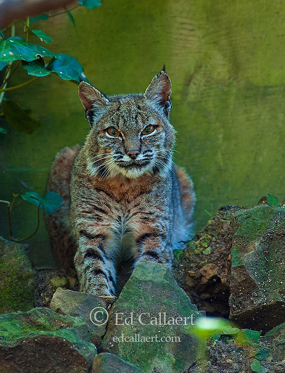 Bobcat, Lynx rufus, Cypress Garden, Mill Valley, California