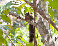Yucatan Squirrel, El Remate, Peten, Guatemala