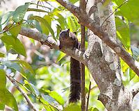 Yucatan Squirrel, El Remate, Peten, Guatemala