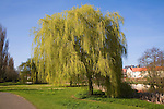 Willow trees in spring in Castle Park, Colchester, Essex, England