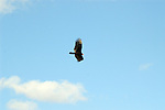 The sunlight catches and highlights the red on the turkey vultures head as it soars.