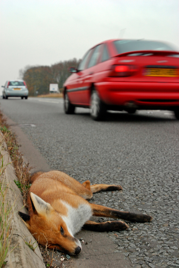 Buckinghamshire, England, 09/11/2003..A dead fox lies by the roadside. Despite the controversy over fox-hunting in England, many more foxes are killed each year by traffic and disease than by hunting.