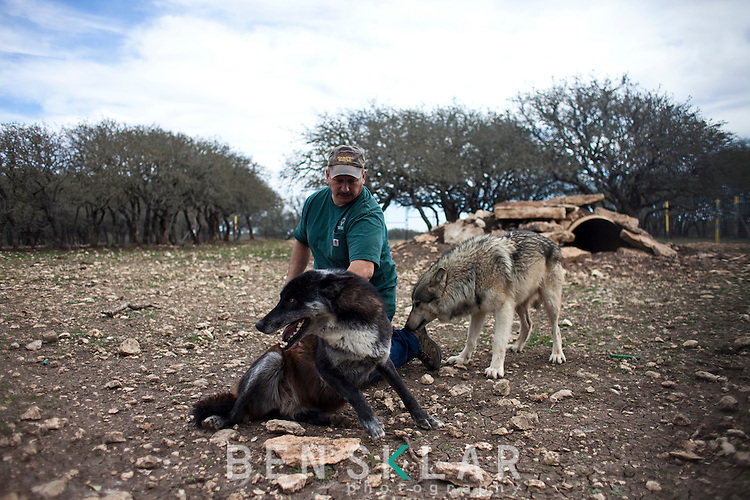 Anthony Matone, owner of Wa-To-Go Exotics, has 2 wolves in a habitat he built on his nearly 250-acre ranch near Mountain Home, Texas. Although Matone lives 39-miles from the nearest town, he no longer has a mountain lion because it is considered dangerous. ..Ben Sklar