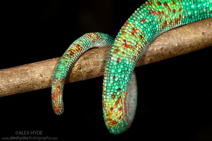 Panther chameleon prehensile tail {Furcifer pardelis} wrapped around branch. Madagascar.