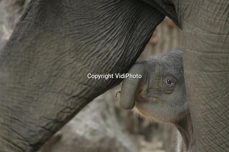 Foto: VidiPhoto..AMERSFOORT - In DierenPark Amersfoort is dinsdagmorgen in alle vroegte  een olifantje geboren. Het jong en moeder Indra maken het goed. Het is nog niet bekend of het een jongen of meisje is. Olifanten hebben een draagtijd van 22 maanden. Sinds begin oktober hebben de dierverzorgers om de beurt bij de olifanten geslapen. De moeder van het jong, Indra, is tien jaar geleden zelf geboren in DierenPark Amersfoort. Het is pas de derde maal dat er een olifantje geboren is in Amersfoort.