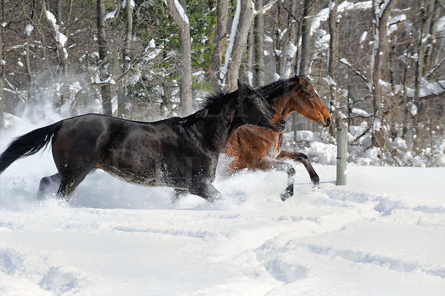 Horses are just like people and most of them love to play in new snow just as we do. These two had a great time running and chasing one another through the 20&rdquo; of fresh powder. It's a boyfriend/girlfriend pair that like to spend their pasture time together anyway, and that closeness seemed to heighten their fun. There was a lot of friendly competition between these quarterhorses to outrun the other and cut each other off in the turns. It was all about having in the snow for these two!<br /> <br /> We did a number of run-bys and created a lot of images with this pair, but the ones that came out the best were with the snow covered woods background that bordered one side of the small paddock. The sunlight came straight along that wood line and into their faces as they headed into the corner. They lit up well, their color glowed, and the sun made the catchlights glow in their eyes as the powder snow looked like fine white smoke rising behind them.