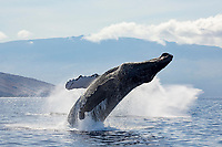 Breaching humpback whale, Megaptera novaeangliae, with Haleakala in the background, Maui, Hawaii.