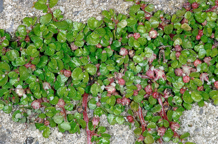 MIND-YOUR-OWN-BUSINESS Soleirolia soleirolii (Urticaceae) Prostrate. Mat-forming perennial with wiry, thread-like stems. FLOWERS are minute and pink (May-Aug). FRUITS are minute and hard to discern. LEAVES are tiny, rounded, untoothed and evergreen. STATUS-A garden escape, colonising walls and paths, mainly in the SW.