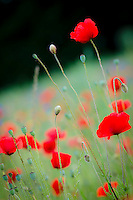 A poppies field