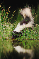 Striped Skunk (Mephitis mephitis), adult at night drinking from wetland lake, Refugio, Coastel Bend, Texas, USA