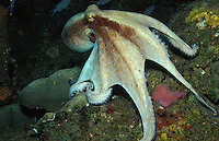 lo6938. Common Octopus (Octopus vulgaris). Dominica, Caribbean Sea..Photo Copyright © Brandon Cole. All rights reserved worldwide.  www.brandoncole.com..This photo is NOT free. It is NOT in the public domain. This photo is a Copyrighted Work, registered with the US Copyright Office. .Rights to reproduction of photograph granted only upon payment in full of agreed upon licensing fee. Any use of this photo prior to such payment is an infringement of copyright and punishable by fines up to  $150,000 USD...Brandon Cole.MARINE PHOTOGRAPHY.http://www.brandoncole.com.email: brandoncole@msn.com.4917 N. Boeing Rd..Spokane Valley, WA  99206  USA.tel: 509-535-3489