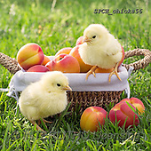 Xavier, EASTER, OSTERN, PASCUA, photos+++++,SPCHCHICKS56,#e#, EVERYDAY ,chicken