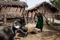 Pramila Tharu, 15, tends to the livestock in Bhaishahi village, Bardia, Western Nepal, on 29th June 2012. Pramila eloped and married at 12 and gave birth to Prapti at age 13. She delivered prematurely on the way to the hospital in an ox cart and her baby weighed only 1.5kg at birth. In Bardia, StC works with the district health office to build the capacity of female community health workers who are on the frontline of health service provision like ante-natal and post-natal care, especially in rural areas. Photo by Suzanne Lee for Save The Children UK