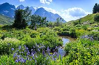 France, Hautes-Alpes (05), Villar-d'Arène, jardin alpin du Lautaret, la zone des plantes de Sibérie (iris de sibérie, Iris siberica...), au loin la Meije