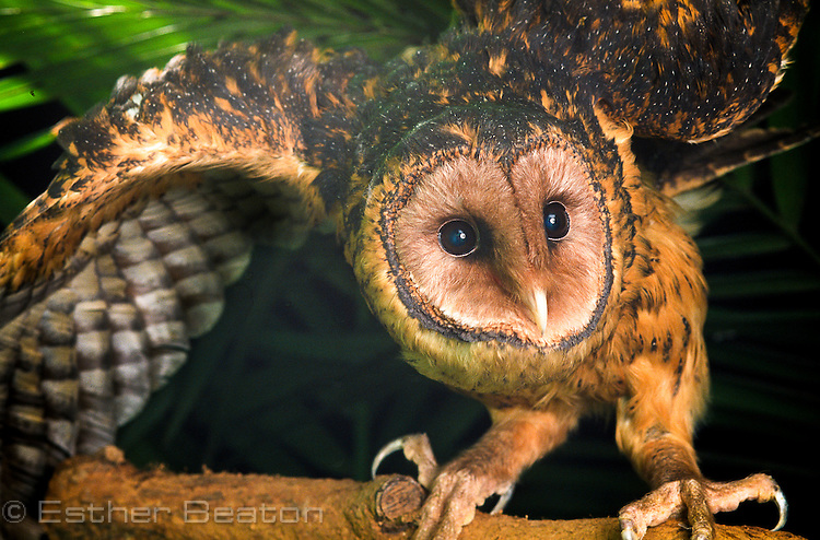 Tasmanian Masked Owl (Tyto novaehollandiae race castanops) female. In typical crouch posture, as if leering.