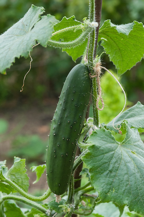 Outdoor ridge cucumber, early August.