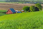 The Palouse, Whitman County, WA: Red barn and farm buildings among rolling wheat fields near Colfax