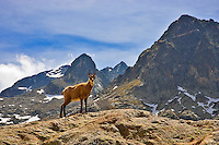 Parc National du Mercantour.  Chamois. Rupicapra Rupicapra. Alpes-Maritimes, Provence, France.
