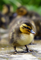 Mallard duckling one day old, the Cotswolds, England