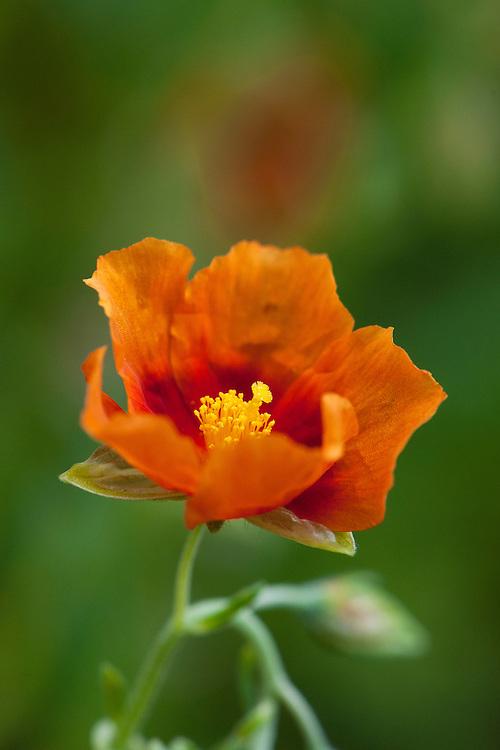 Orange rock rose (Helianthemum 'Southmead'), earlu July.