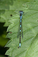Fledermaus-Azurjungfer, Fledermausazurjungfer, Azurjungfer, Männchen, Coenagrion pulchellum, variable damselfly