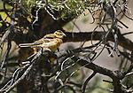 Female black-headed grosbeak, Pheucticus melanocephalus. Wildrose Canyon, Death Valley National Park, California