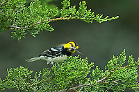 591850043 a wild juvenile male golden-cheeked warbler an endangered species setophaga chrysoparia - was dendroica chrysoparia - perches in a fir tree with bug prey in its beak in the texas hill country texas united states