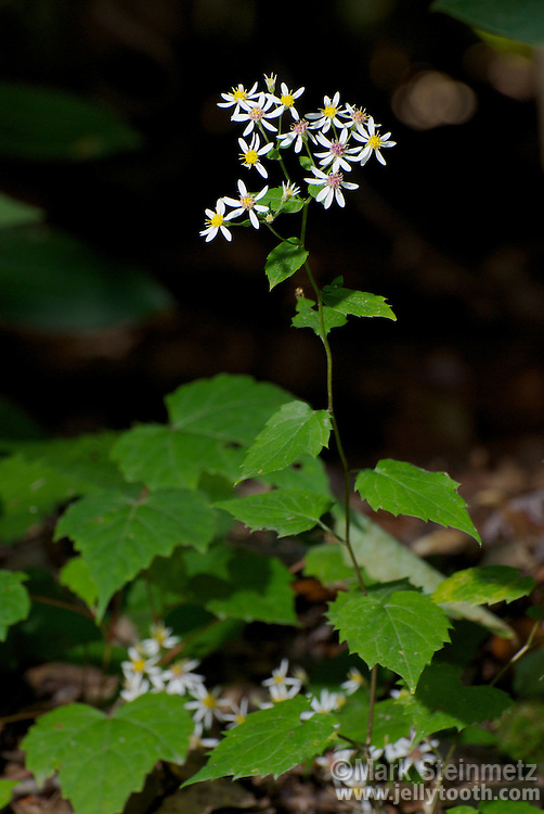 White Wood Aster (Eurybia divaricata formerly Aster divarticatus). This species is generally found in dry woods in Eastern North America, especially in the Appalachian Mountains. Monongahela National Forest, WV, USA.