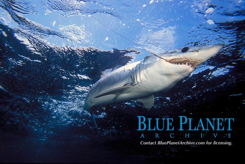 Mako shark, Isurus oxyrinchus, California, USA, East Pacific Ocean