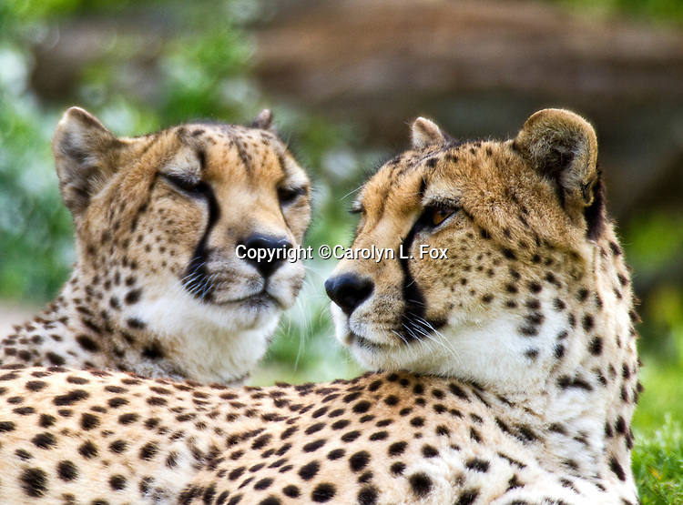 Cheetahs relax in the sunlight.