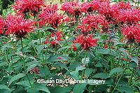 63821-030.11 Red Bee Balm (Monarda Gardenview scarlet)    IL