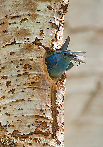 Mountain Bluebird (Sialis currucoides), male looking out of its nest hole in aspen trunk as female goes in (foot and tail visible behind male!), Mono Lake Basin, California, USA