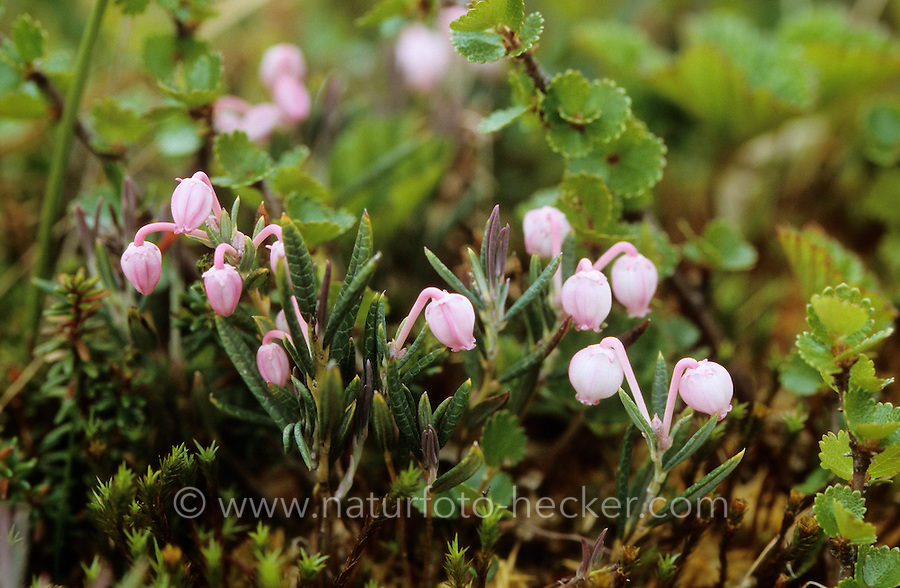 Kahle Rosmarinheide, Rosmarin-Heide, Andromeda polifolia, Common Bog Rosemary