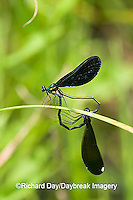 06014-003.01 Ebony Jewelwing (Calopteryx maculata) male & female in copulation wheel, Lawrence Co. IL