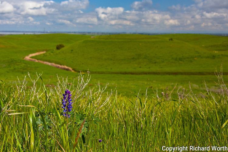 "A lupine blooms above the grasses as if to say, ""Spring is almost here."""
