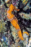seahorse, seahorse, hippocampus species