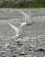 Arctic terns flying