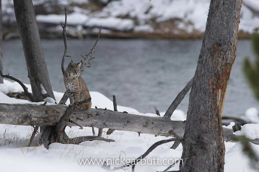 North American Bobcat (Lynx rufus) on the edge of the Madison River. Yellowstone National Park, Wyoming, USA. January