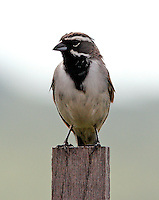 Adult black-throated sparrow on post